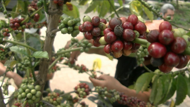 Proses pemetikan kopi tulang dari area makam kuni Belanda Jepang di Kota Malang (foto/metrotv)