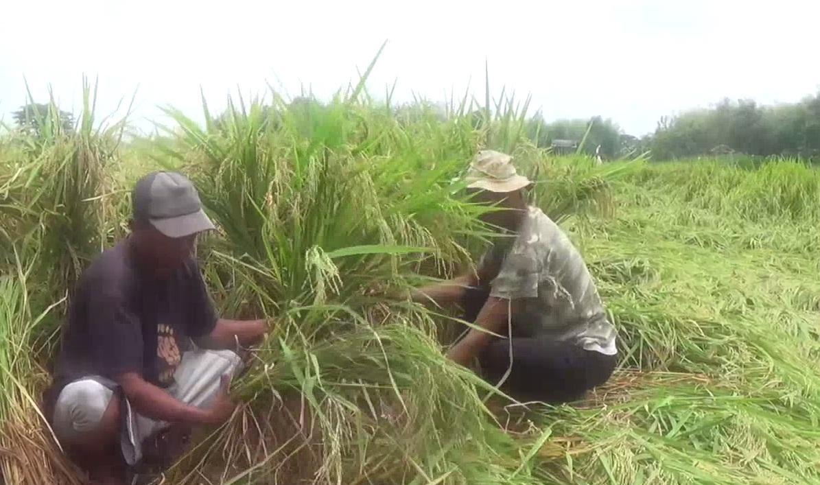 Puluhan Hektar Padi Roboh Diterjang Hujan dan Angin Kencang