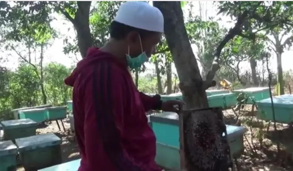 Abdul saat mengecek salah satu sarang madu yang ia pasang di sejumlah pohon mangga (Foto / Istimewa)