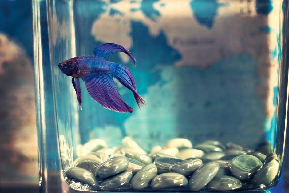Jangan Asal, Perhatikan Beberapa Hal Ini saat Menjemur Ikan Cupang Kesayangan Kalian