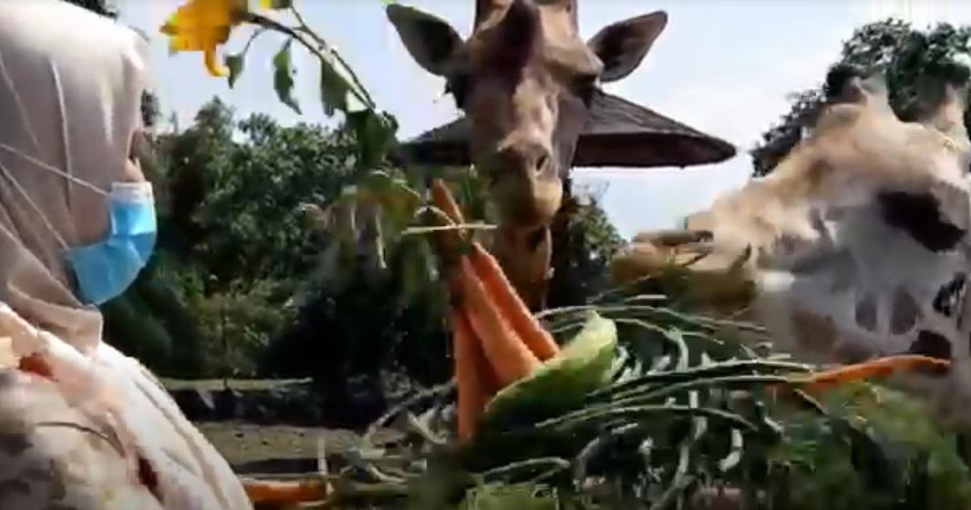 Hari Jerapah Sedunia, Taman Safari II Prigen Beri Kado Tumpeng Sayur Buah