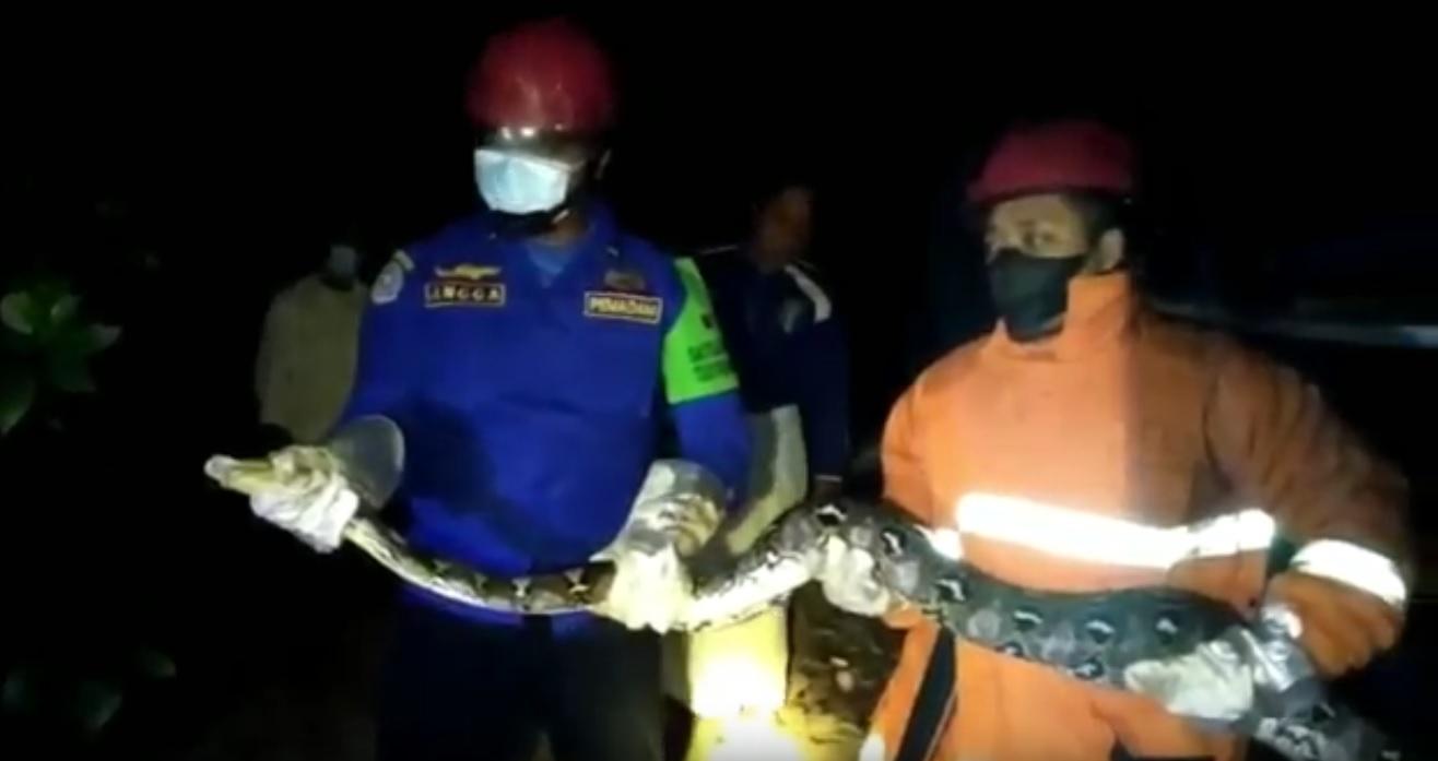 Ular piton sepanjang 3 meter ditangkap petugas pemadam kebakaran Trenggalek. (metrotv)