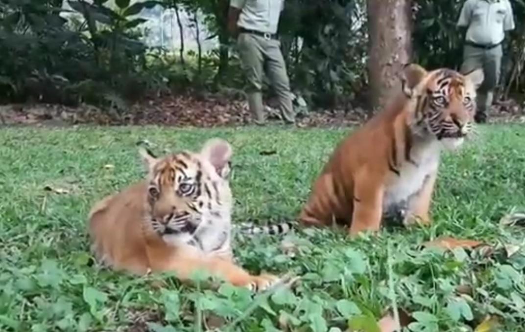 Pertama, 2 Harimau Sumatra Lahir di Taman Safari Prigen