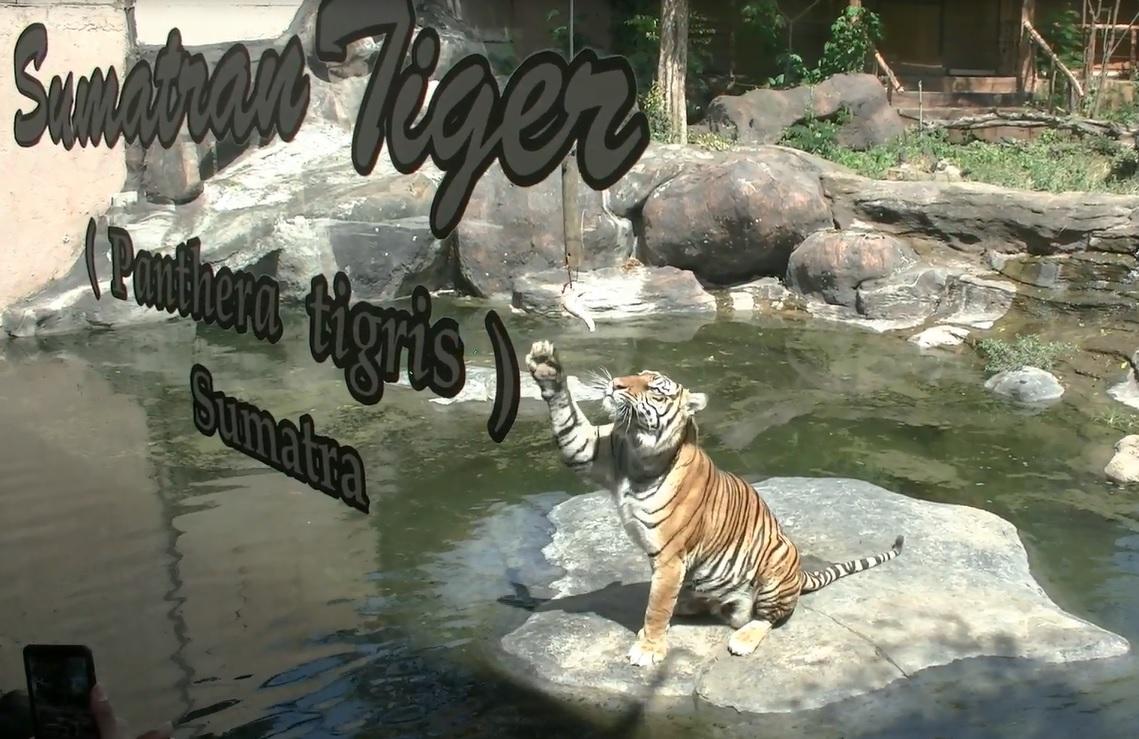 Di secret zoo, kini tercacat memiliki 29 ekor harimau beragam spesies. Mulai dari harimau sumatera, siberia,  bengal serta harimau emas dan putih. Semunya mendapatkan kado istimewa.
